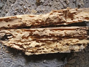 Obr. 7: Destrukce dřeva larvami tesaříka krovového
