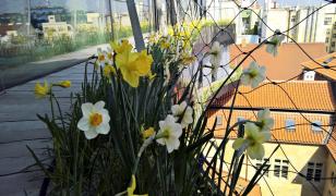 Obr. 10: Cibuloviny na balkónech na jaře