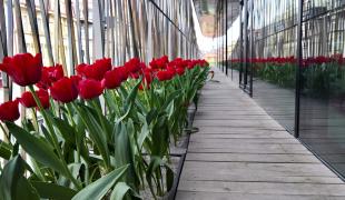 Obr. 11: Cibuloviny na balkónech na jaře